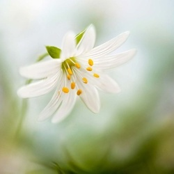 Spring Stitchwort Photo Wallpaper Mural