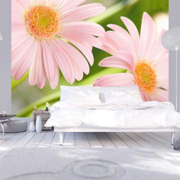 Fototapet - Two pink gerbera daisies