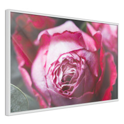 Poster - Blooming Rose