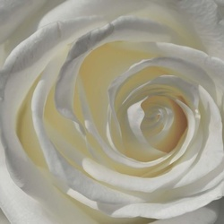 White Rose Photo Wallpaper Wall Mural