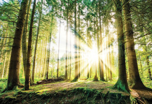 Sunrise Through The Forest Trees Photo Wallpaper Wall Mural