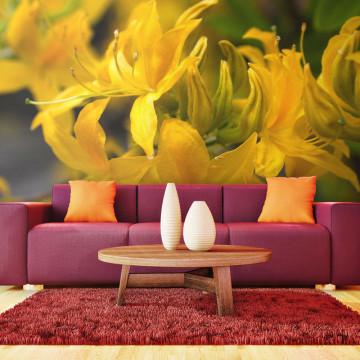 Fototapet - Close-up of yellow azalea