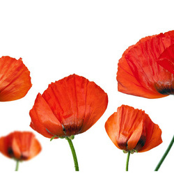 Fototapet - Red poppies on white background