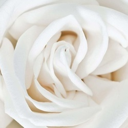 Soft White Rose Photo Wallpaper Wall Mural
