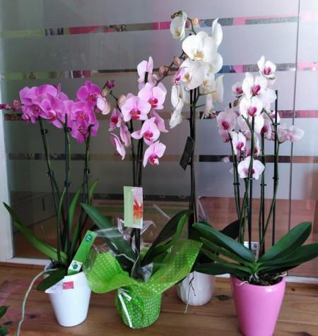 Planta de Orquídea+Macetero de cerámica