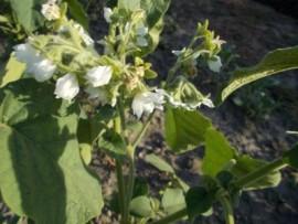 SEMINTE - D. 67 TAMARILLO PITIC - Cyphomandra abutiloides
