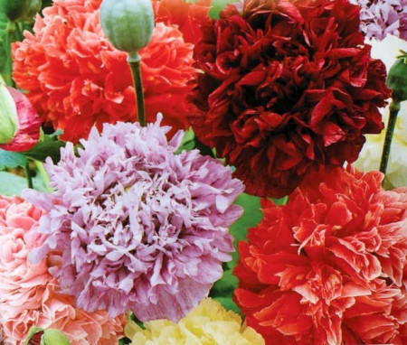 SEMINTE MAC DE GRADINA -D 141 PAEONY DOUBLE MIXED