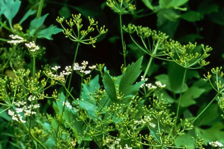 SEMINTE ANASON ( Pimpinella anisum ) - D 173