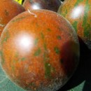 SEMINTE ROSII - T 312 WOOLY GREEN ZEBRA