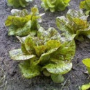 SEMINTE SALATA - D 176 STRAWBERRY CABBAGE LETTUCE