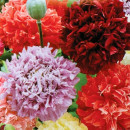 SEMINTE MAC DE GRADINA - PAEONY DOUBLE MIXED - D 141