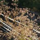 SEMINTE CORIANDRU ( Coriandrum sativum) - D 175
