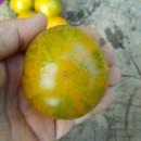 SEMINTE ROSII - T. 221 ZEBRA GREEN STRIPE