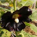 SEMINTE NALBA NEAGRA - D 146 Hollyhock Black - althea rosea