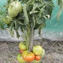 SEMINTE ROSII - T. 47 BELGIAN FARMER BEEFSTEAK