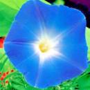 SEMINTE ZORELE - D 135 BLUE STAR - IPOMOEA TRICOLOR