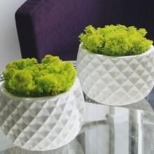 Licheni verde lime