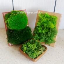 Mini tablou 1 din licheni naturali, stabilizați, 2 culori, de calitate superioară - 15 cm X 10 cm