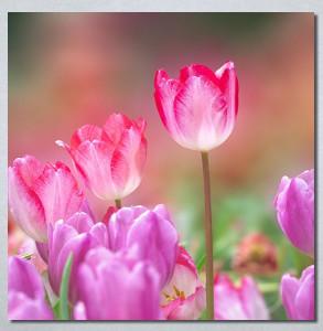 Slike na platnu Pink lale Nina30270