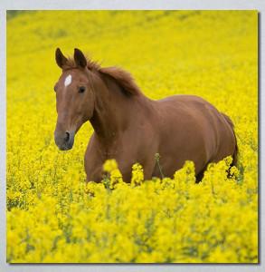 Slike na platnu Konj na zutoj poljani Nina30264