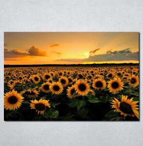 Slike na platnu Suncokreti Nina070_P