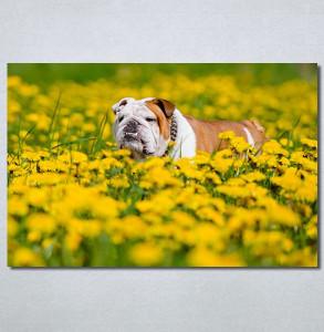 Slike na platnu Buldog Nina30234_P