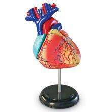 Sablon corp uman - Inima