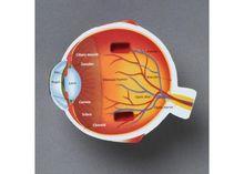 Model sectiune - Ochiul