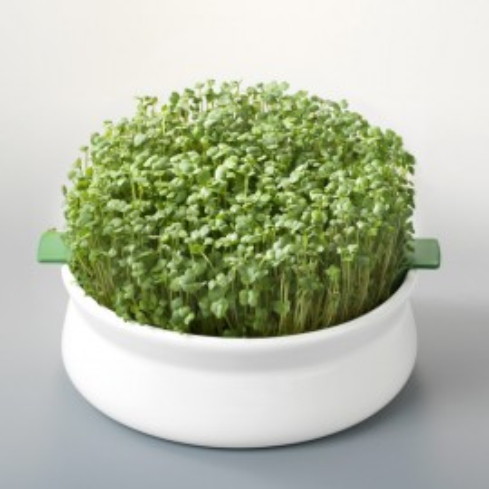 Poze Seminte de rucola pt. germinat bio Germline 100g