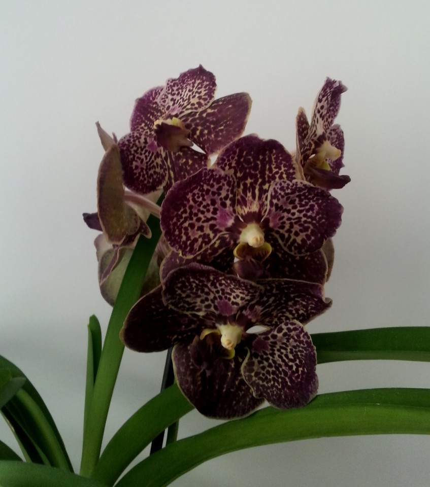 More vanda orchids