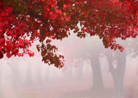 Fototapet, Copaci cu frunze roșii