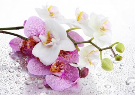 Fototapet, Orhidee și roua de dimineață