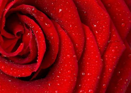 Fototapet, Petale roșii de trandafir