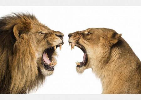 Fototapet, Leul și leoaica pe un fundal alb
