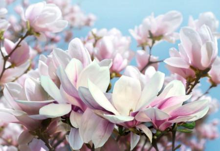 Fototapete 3D, Flori albe și roz pe fundalului cerului albastru senin