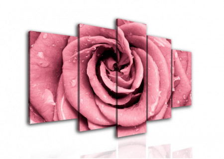 Multicancas, Trandafir roz