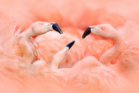 Fototapet, Flamingo roz