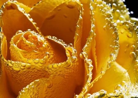 Fototapet, Un trandafir galben și picături de rouă