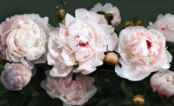 Fototapet, Bujori roz pe un fundal negru