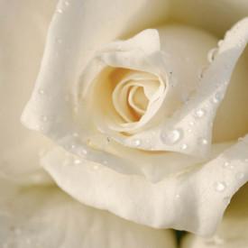 Fototapet, Un trandafir alb și picăturile de apă