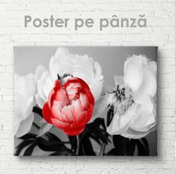 Poster, Bujor roșu pe fond de flori albe