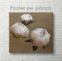 Poster, Bujori de culoare nude