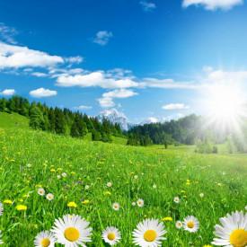Fototapet, Răsăritul soarelui într-un câmp cu mușețel
