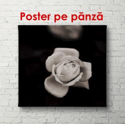 Poster, Trandafirul delicat pe un fundal negru