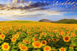 Fototapet, Floarea-soarelui pe câmp