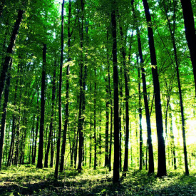 Fototapet, Pădurea verde