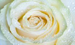 Multicanvas, Trandafirul alb
