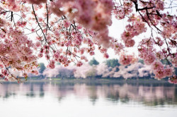Fototapet, Sakura deasupra lacului