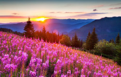 Tablou modular, Câmp de flori roz