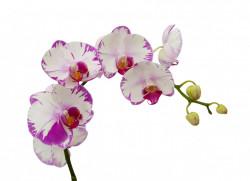 Poster, Orhidee albe cu margini roz